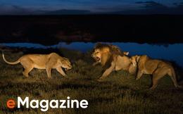 """Sư tử diệt sư tử: Cuộc """"ám sát"""" 3 cắn 1 và sự hồi sinh nghẹt thở của """"nhà vua"""""""