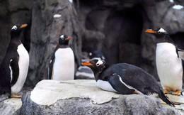 """Hết cá mập đóng băng, chim cánh cụt Canada cũng """"rủ nhau"""" bỏ đi chỗ khác sưởi ấm vì thời tiết lạnh giá"""