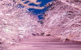 """Người dân Nhật ngỡ ngàng chiêm ngưỡng những bông """"hoa anh đào"""" băng tuyết trong thời tiết lạnh giá kéo dài"""