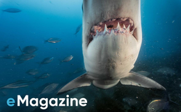 """""""Con cá rất đẹp"""" đột ngột mất tích và cuộc săn tìm đàn cá mập trắng lớn nhất thế giới"""
