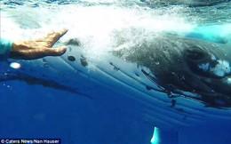Thấy cá mập săn mồi lởn vởn, cá voi khổng lồ nặng 22 tấn lấy thân mình che chắn cho đội thợ lặn khỏi bị tấn công