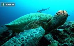 """Hơn 200.000 con rùa xanh cái sắp chết vì không thể """"lấy chồng"""" chỉ bởi lý do ai cũng biết"""