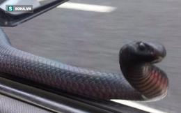 Rắn độc liên tục dùng đầu gõ cửa khi xe đang chạy trên đường