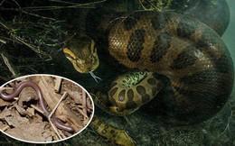 Rắn khổng lồ thì quá quen rồi nhưng loài rắn bé nhất Trái đất thì bạn biết chưa?