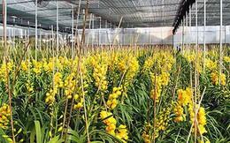 Hoa lan rớt giá vì nở sớm trước Tết cả tháng