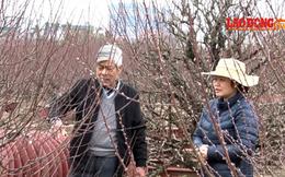 """Người dân Nhật Tân khẳng định tin """"đào rớt giá vì nở sớm"""" là sai sự thật"""
