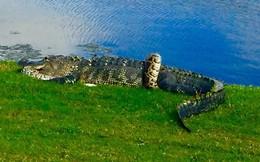 24h qua ảnh: Cá sấu và trăn khổng lồ quyết chiến trên sân golf