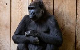 Sau hai năm sửa sai, trí tuệ nhân tạo Google vẫn nhận nhầm người Mỹ gốc Phi với khỉ đột