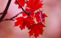 """Cây phong lá đỏ """"hot hit"""" mấy ngày nay nhưng bạn có thực sự biết về loại cây này?"""