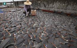 Đừng tưởng bạn đã biết: Vì sao vây cá mập phải phơi khô, và thường phơi trên trần nhà?