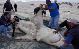 Cá mập trắng bị săn đuổi chết rục hàng loạt, nhưng thủ phạm lần này không phải con người