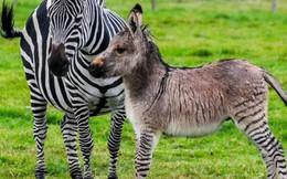 Đố bạn biết lừa lai với ngựa vằn sẽ ra con gì? Câu trả lời xấu xí như một cơn ác mộng