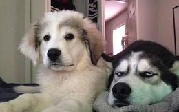 Những đặc điểm về ngoại hình và hành vi của giống chó Husky