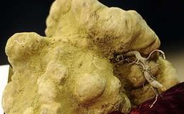 Đại gia bí ẩn chi hơn 2 tỷ đồng mua cục nấm chưa đến 1kg