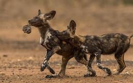 Châu Phi có một loài chó đẹp như tranh vẽ và săn còn giỏi hơn cả sư tử