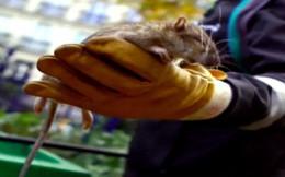 Phát hiện thêm ca lây viêm gan từ chuột