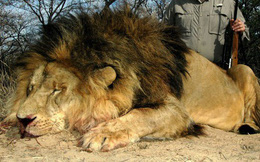 Cảnh báo: Không chỉ tê giác và hổ, sư tử châu Phi cũng sẽ sớm biến mất thôi