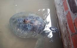 Con vích nặng 18kg dạt vào bờ biển trong cơn bão số 9