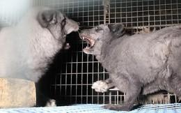 Cận cảnh trại nuôi cáo, chồn lấy lông: Những con vật xinh đẹp điên loạn cắn xé nhau, bị thương nhiễm trùng rồi nằm chờ chết
