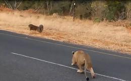 Thiếu cảnh giác, lợn rừng bị sư tử hạ sát trong 'chớp mắt'