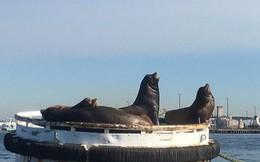 13 con sư tử biển bị chết ở bờ biển Washington chỉ trong 3 tháng