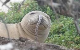 """Chú hải cẩu số nhọ được dân mạng khen """"ngầu dữ dội"""" khi bị lươn chui vào lủng lẳng trên mũi"""