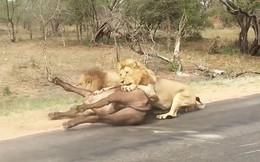 Clip: Chống cự sư tử, trâu rừng trả giá bằng tính mạng