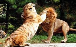 Hỏi cực khó: Hổ và sư tử đánh nhau, con nào sẽ thắng?