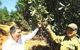 Cây 'tỉ đô' ở Tây Nguyên giờ ra sao: Vào vườn mắc ca 'tính tiền' cùng nông dân