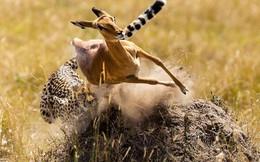 Đang chạy trốn thì vấp ngã, liệu linh dương có thoát khỏi đòn thù của báo săn?