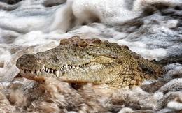 Thế giới động vật: Đổi cách đi săn, cá sấu hạ con mồi trong giây lát
