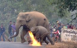 Đau lòng cảnh voi mẹ và voi con chạy thoát thân trước những quả cầu lửa của dân làng