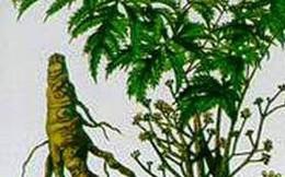 Rễ đinh lăng tăng lực, chống độc