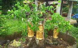 """Thú chơi dát vàng lên thân cây đang sống ở Cần Thơ: """"Không ai vì một chỉ vàng mà làm hỏng cây cả tỷ đồng"""""""