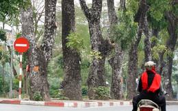 500 cây xà cừ hàng chục năm tuổi trước ngày chặt hạ