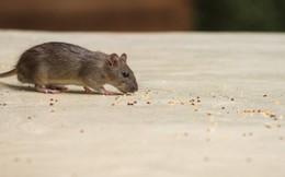 Chỉ cần 1 nắm gạo trộn với thứ này đã có thể diệt sạch cả đàn chuột, bạn hãy thử ngay