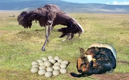 Liều lĩnh ăn vào máu, lửng mật cả gan đi trộm trứng của kẻ thù to hơn cả chục lần
