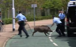 Lợn rừng xuất hiện từng đàn, 'chạy điên cuồng' trong khu dân cư, sân bay và trung tâm thương mại ở Hồng Kông