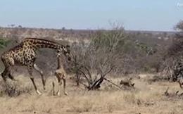 Thế giới động vật: Hươu gãy một chân vẫn chạy thoát được khỏi linh cẩu