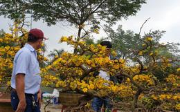 Chợ hoa Xuân Đà Nẵng: Quất, cúc tăng giá, mai ế ẩm