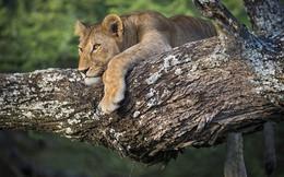 Sư tử đực mắc kẹt trên ngọn cây, bạn tình đứng dưới 'hóng'