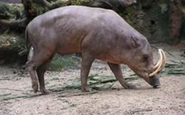 Lợn kỳ lạ nhất thế giới, có răng nanh cong vút đáng sợ