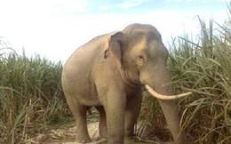 Tìm thấy thi thể người đàn ông nghi bị voi rừng xéo chết