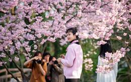 24h qua ảnh: Cô gái chụp ảnh dưới những cây hoa anh đào nở rộ ở TQ