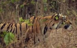 Thế giới động vật: Hổ dữ bắt kẻ xâm phạm trả giá bằng tính mạng
