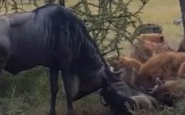 Thế giới động vật: Mắc sừng, linh dương bị linh cẩu hạ gục dễ dàng