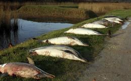 Pháp đi tìm lời giải cho thảm cảnh 1.100 con cá heo bị giết hại một cách bí ẩn dạt vào bờ biển