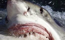 Bất ngờ bắt được con cá mập trắng lớn hiếm thấy nặng hơn 300kg