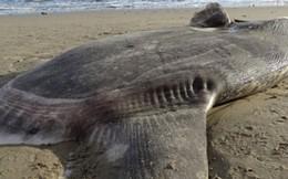 Cá thái dương trôi dạt vào bờ ở California, các nhà sinh vật thay đổi hoàn toàn suy nghĩ