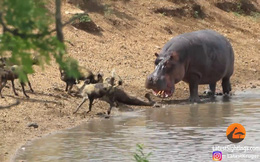 Thế giới động vật: Hà mã nhanh nhảu cướp mồi của chó hoang
